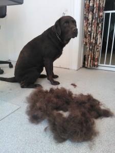 Fjernelse af løse hår på en Labradore
